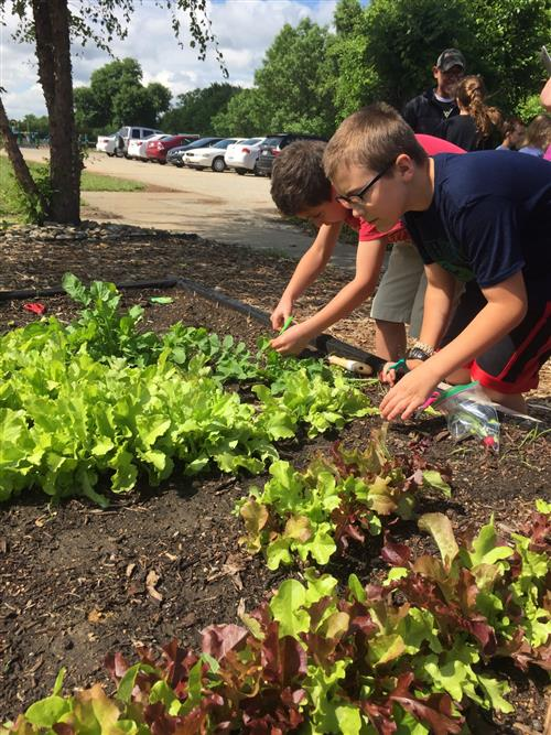 Students harvest lettuce on the last day of school 2017